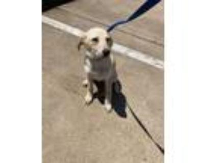Adopt 48011226 a Red/Golden/Orange/Chestnut Golden Retriever / Mixed dog in Fort