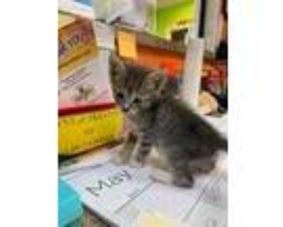 Adopt Pansy a Gray or Blue Domestic Shorthair / Domestic Shorthair / Mixed cat