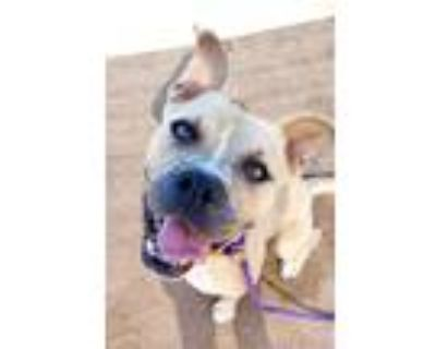 Adopt Chance a Boxer, Pit Bull Terrier