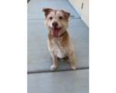 Adopt RUSTY a Red/Golden/Orange/Chestnut Mixed Breed (Medium) / Mixed dog in