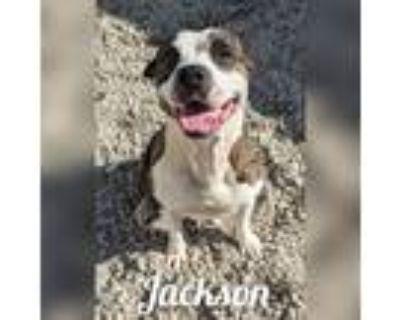 Adopt Jackson a Staffordshire Bull Terrier