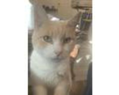 Adopt Theodore the Town Inspector a Orange or Red (Mostly) Domestic Shorthair