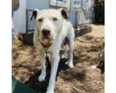 Adopt Georgia a White Border Collie / Retriever (Unknown Type) / Mixed dog in