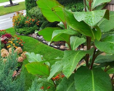 Canna Lilies bulbs from Niagara Falls . Giant Banana leaves . Can reach up to 8 ft. tall