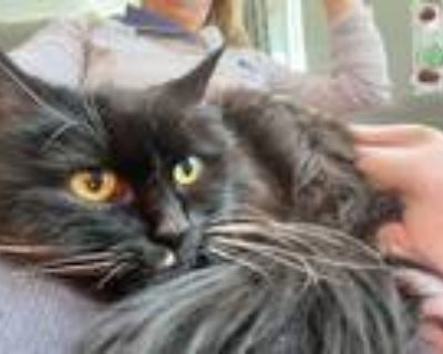 Adopt Gracie a Domestic Longhair cat in Denver, CO (31612733)