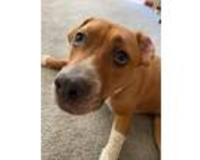 Adopt Malone a Tan/Yellow/Fawn - with White American Staffordshire Terrier /