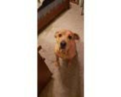 Adopt MIA a Tan/Yellow/Fawn American Pit Bull Terrier / Labrador Retriever /