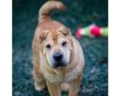 Adopt Sharpei a Red/Golden/Orange/Chestnut Shar Pei / Mixed dog in Decatur