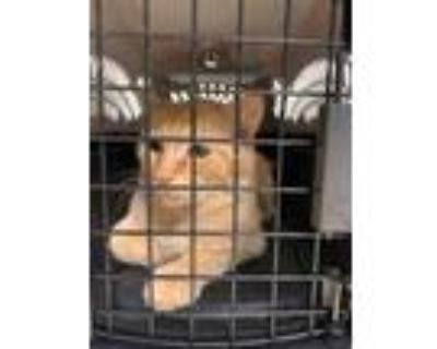 Adopt Nibs a Orange or Red Domestic Shorthair / Domestic Shorthair / Mixed cat