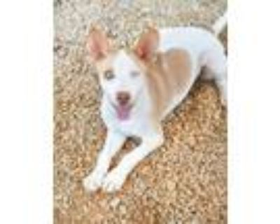 Adopt Asia a White Shepherd (Unknown Type) / Mixed dog in Greenwood