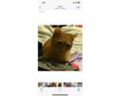 Adopt Bitty Kitty a Orange or Red Domestic Shorthair / Mixed (short coat) cat in