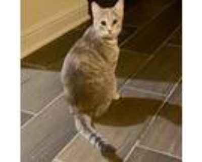 Adopt Dee Dee a Gray or Blue Domestic Shorthair / Mixed cat in League City