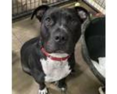 Adopt Meatball a American Staffordshire Terrier, American Bully