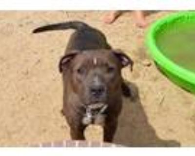 Adopt TInkerbell - PS a Brown/Chocolate American Staffordshire Terrier / Mixed
