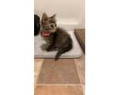 Adopt Scar a Tortoiseshell Domestic Mediumhair / Mixed (medium coat) cat in