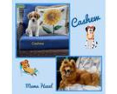 Adopt Cashew a White - with Tan, Yellow or Fawn Chow Chow / Mixed dog in El