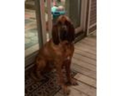 Adopt Myers a Red/Golden/Orange/Chestnut - with White Bloodhound / Mixed dog in