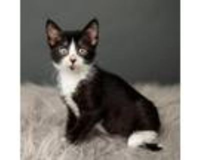 Adopt Rapala a All Black Domestic Shorthair / Mixed cat in Minneapolis