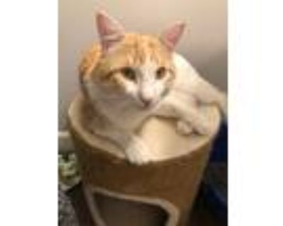 Adopt Coltee a White Domestic Shorthair / Mixed cat in Washington, DC (31221317)
