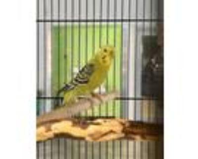Adopt GAYLE a Parakeet (Other)