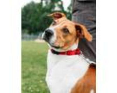 Adopt Dodger a White Labrador Retriever / Mixed dog in New Castle, DE (32033461)