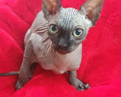 My Sphynx kitten for sale