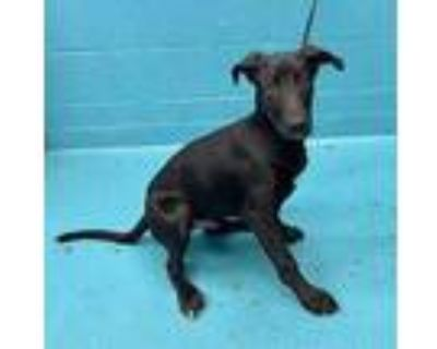 Adopt HENNY a Black Labrador Retriever / Mixed dog in San Antonio, TX (32040531)