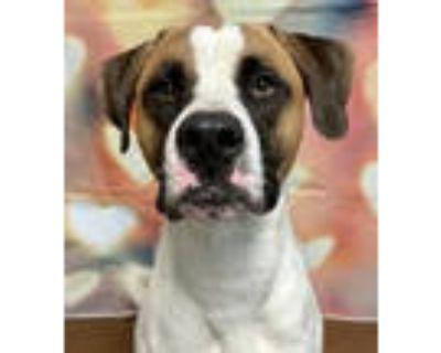 Adopt Buster a Saint Bernard