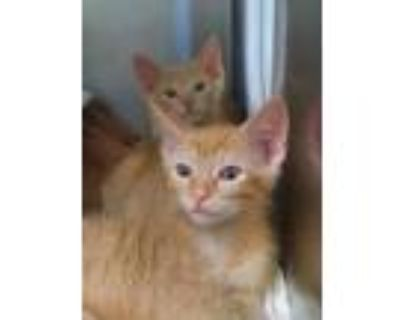 Adopt Vian a Orange or Red Domestic Shorthair / Domestic Shorthair / Mixed cat