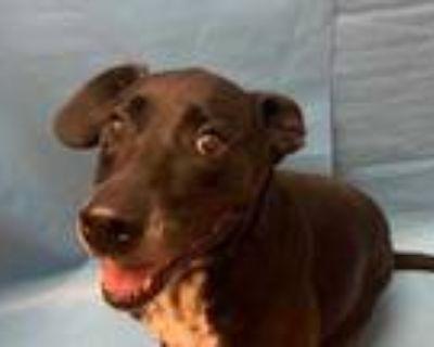 Adopt Penny a Black Labrador Retriever / Mixed dog in Golden Valley