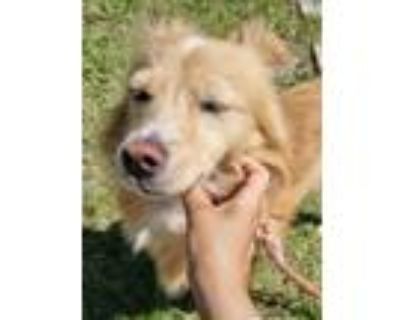 Adopt Brie a Tan/Yellow/Fawn Welsh Corgi / Jindo / Mixed dog in Beverly Hills