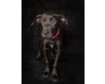 Adopt Roxy a Black Labrador Retriever / Mixed dog in Van Nuys, CA (32125527)