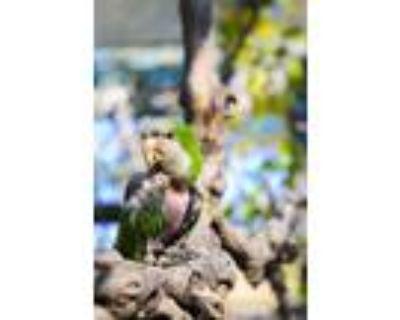 Adopt Twinkie a Quaker Parakeet