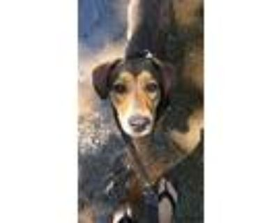Adopt Buster a Brown/Chocolate - with Black Hound (Unknown Type) / Mixed Breed