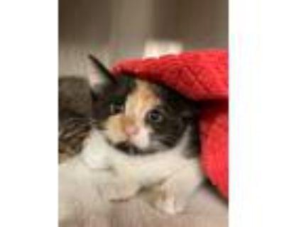 Adopt Neopolitan a Domestic Shorthair / Mixed cat in Richmond, VA (31626202)