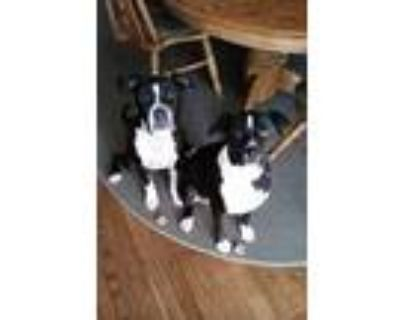 Adopt Brizzy a Black - with White American Pit Bull Terrier / Irish Setter /