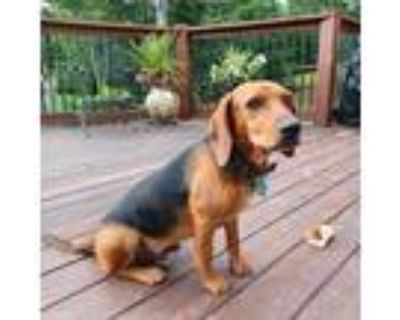 Adopt Biscuit a Brown/Chocolate Beagle / Dachshund / Mixed dog in Roswell
