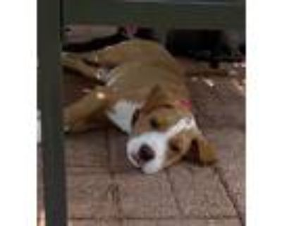 Adopt Pepper a Red/Golden/Orange/Chestnut - with White Beagle / Mixed dog in