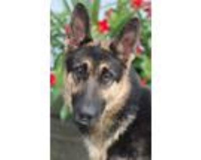 Adopt Sasha von Jesberg a Black - with Tan, Yellow or Fawn German Shepherd Dog /