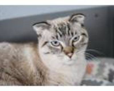 Adopt Clyde a Scottish Fold