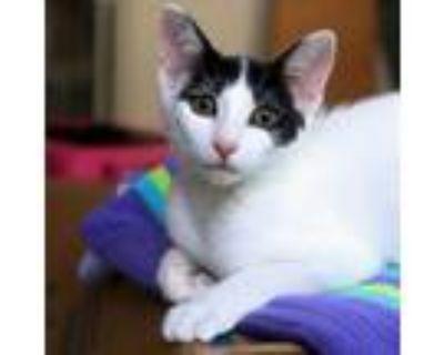 Adopt Sorsha a Black & White or Tuxedo Domestic Shorthair / Mixed (short coat)