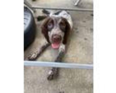 Adopt Rylie a English Springer Spaniel