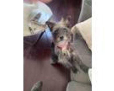 Adopt Juniper a West Highland White Terrier / Westie