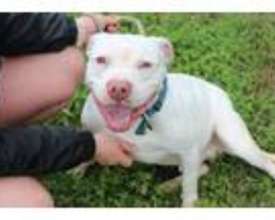 Adopt Hank a White Terrier (Unknown Type, Medium) / Mixed dog in Abbeville