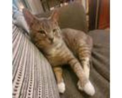 Adopt Ozzie a Gray, Blue or Silver Tabby Domestic Shorthair / Mixed (short coat)