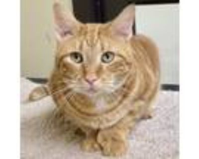 Adopt Pauly a Extra-Toes Cat / Hemingway Polydactyl