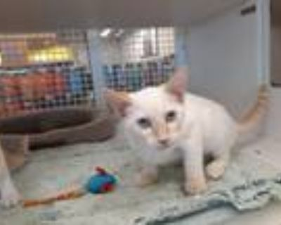 Adopt Monkey a Siamese / Mixed (short coat) cat in Fort Worth, TX (32065364)