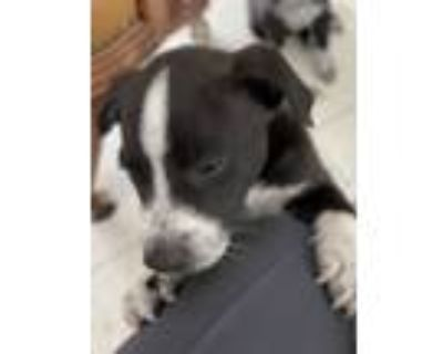 Adopt Blackie a Black - with White Border Collie / Pit Bull Terrier / Mixed dog