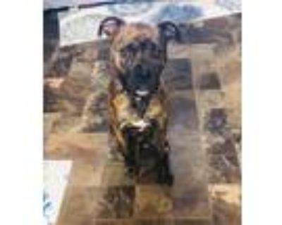 Adopt Kevin a Brindle Boxer / Mixed dog in Dale, IN (32071787)