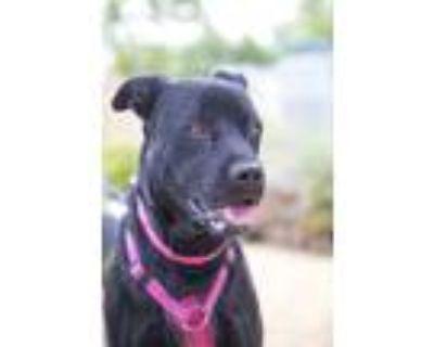 Adopt Lassie a Labrador Retriever / Boxer / Mixed dog in Albuquerque